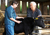 A vet checking a cow on a farm with a stethoscope with help from a farmer